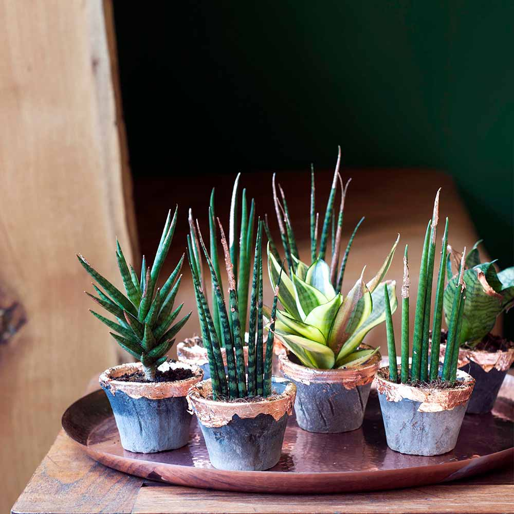 Wohnideen Diy: Bogenhanf Im Kupferkleid - Lilli & Luke Zimmerpflanzen Wohnideen